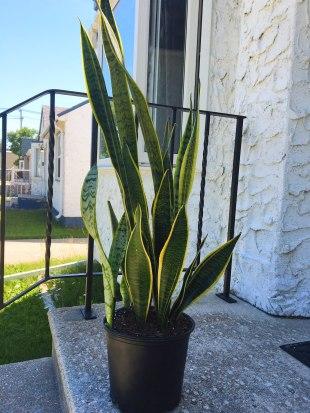 snake plant4